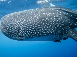 Swim with the whale sharks privilege aluxes hotel isla mujeres